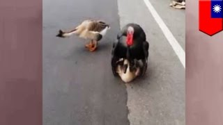 Turkey sex with goose, so wrong! Escaped turkey attempts to breed with wild goose - TomoNews