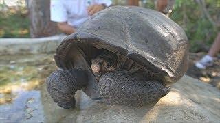 На Галапагосах нашли вид черепах, считавшийся вымершим