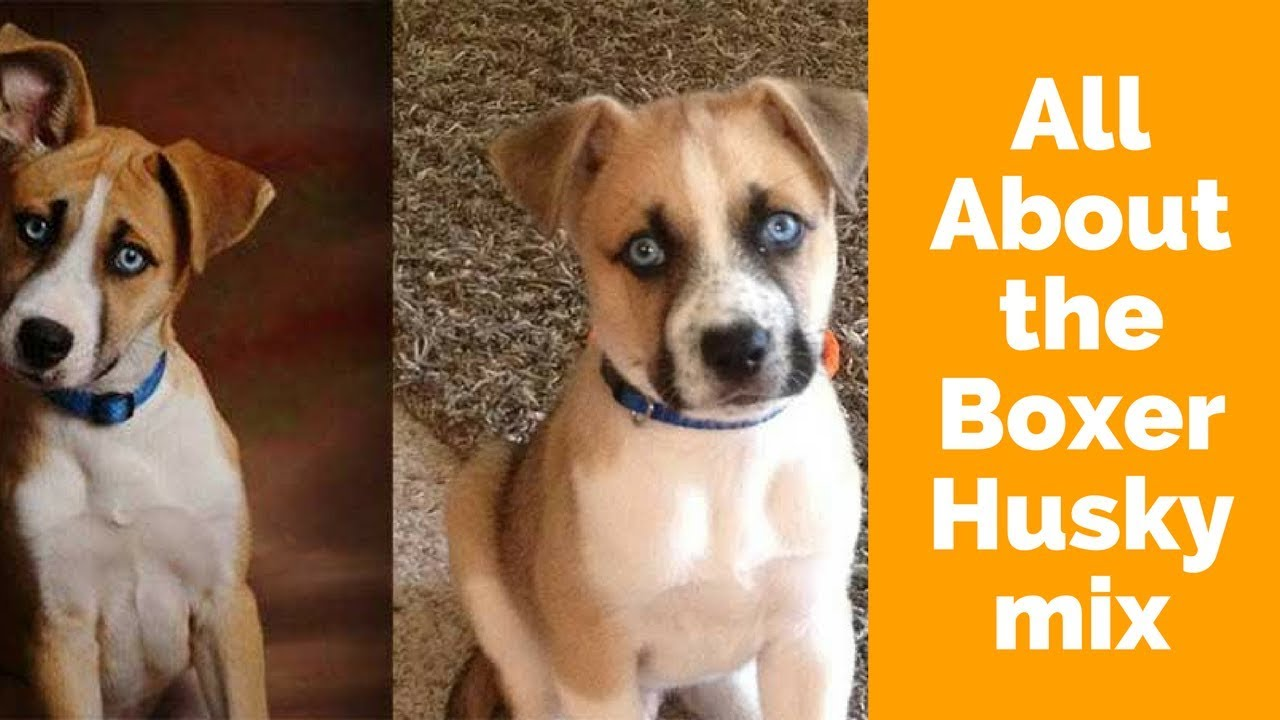 All About The Boxer Husky Mix Boxsky Youtube