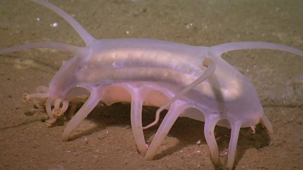 The Creature Feature: 10 Fun Facts About Sea Pigs | WIRED