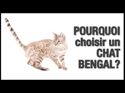 Le Chat Bengal: Une Race Pour Vous ? Caractère Et Comportement - Chatterie Bengal Laurentides