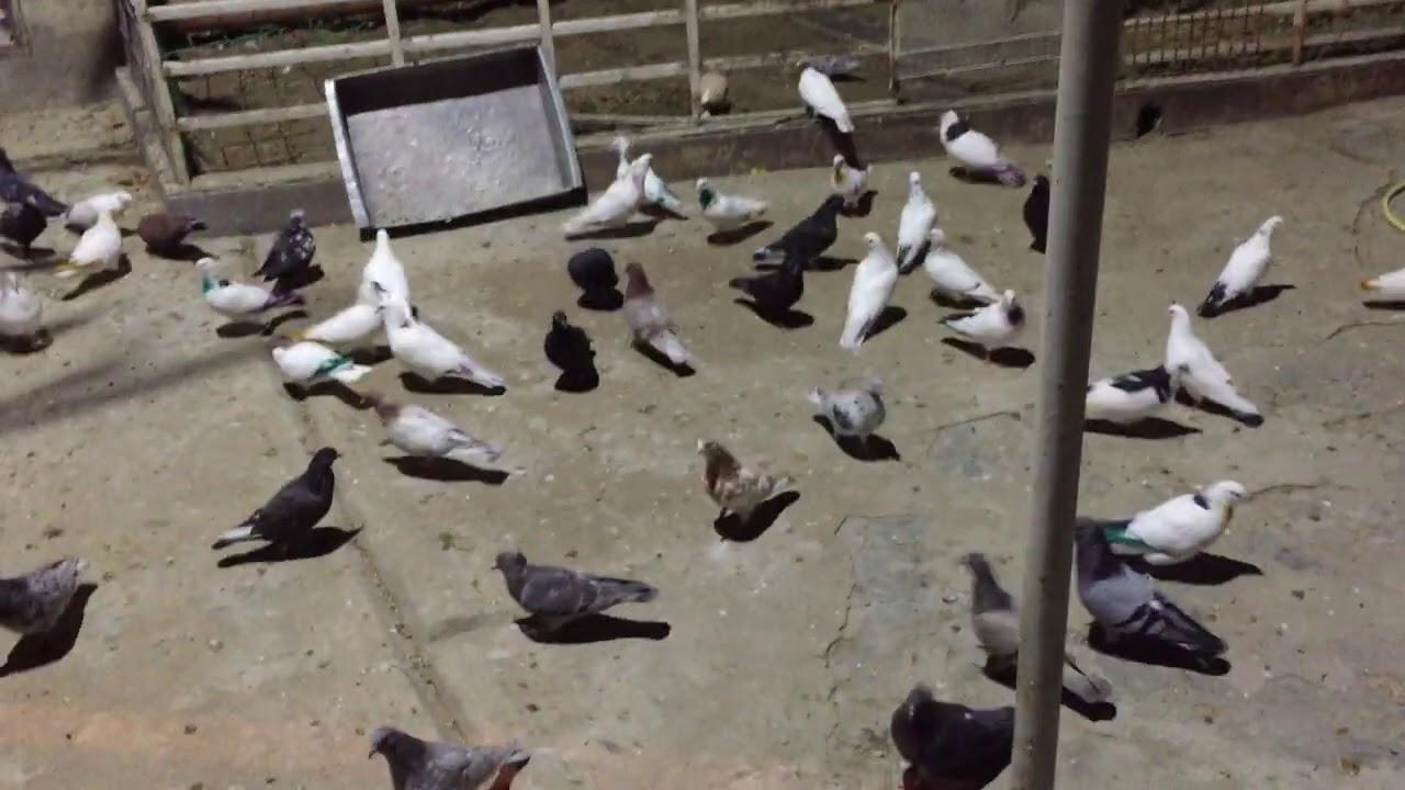 #Pigeon.Молодёжь у нас замечательный и голубей нужно гонять а не держать!