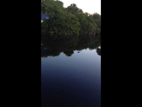Gator in the canal