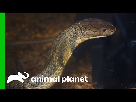King Cobra Needs Antibiotic Pump Fitted To Treat A Nasty Infection | The Zoo