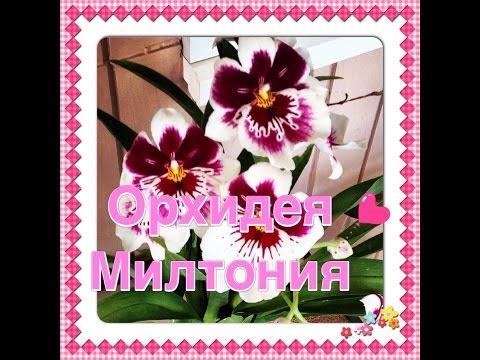 Орхидея МИЛЬТОНИЯ / Miltonia