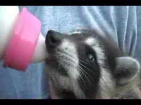 Pet Raccoon Acts Like Dog