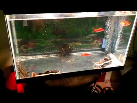 Catfish For Sale >> Feeding my baby red tail catfish/Datnoid - YouTube