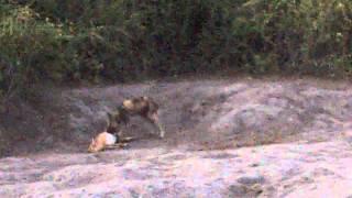 african wild dog kills an impala recorded on safari in botswana