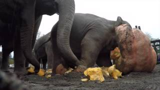 Elephants pulverize giant pumpkins during 2015 Squishing of the Squash