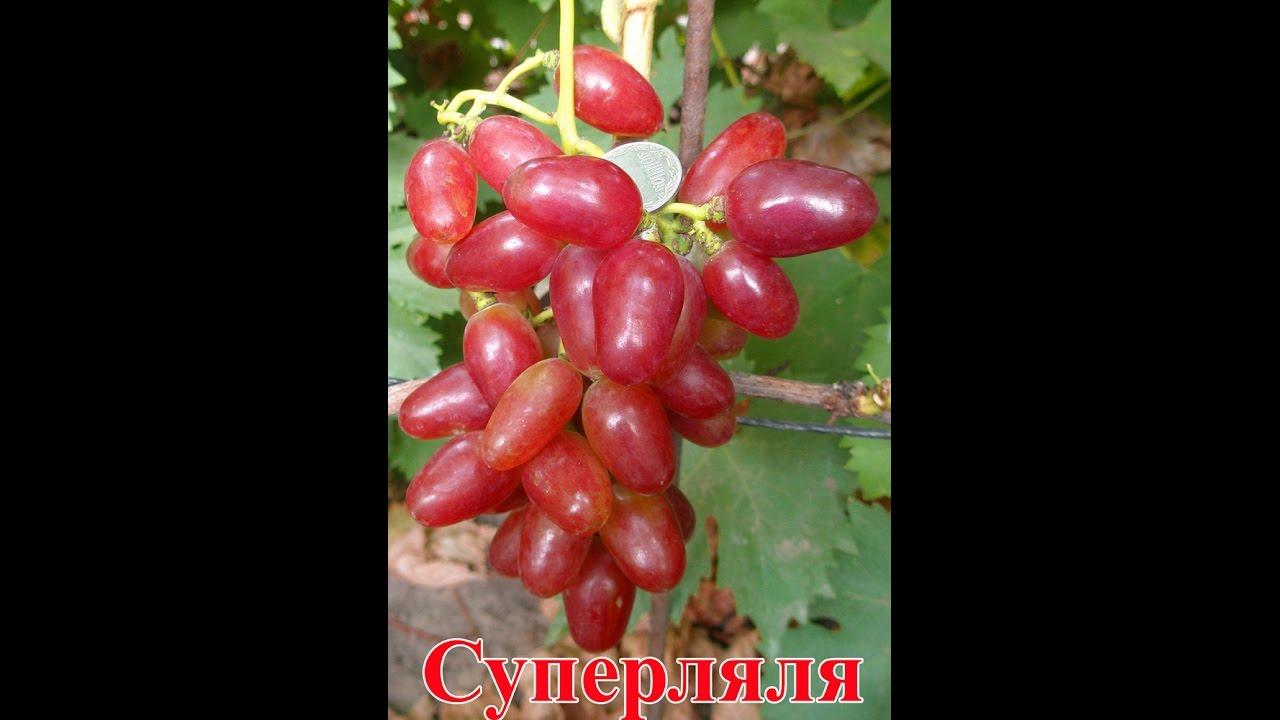 виноград супер ляля фото