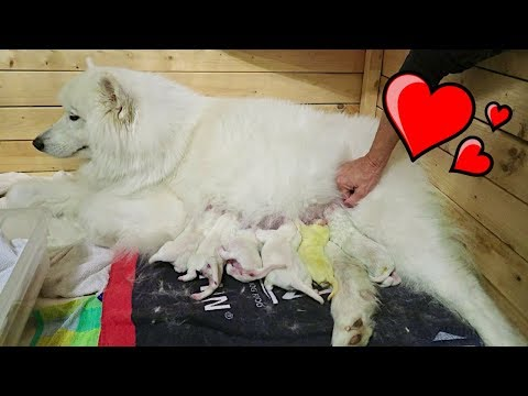 SAMOYED DOG GIVING BIRTH TO 12 PUPPIES! (birth vlog)