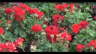 يابدع الورد ياجمال الورد من سحر الورد قالوة على الخد بمعرض زهور الربيع