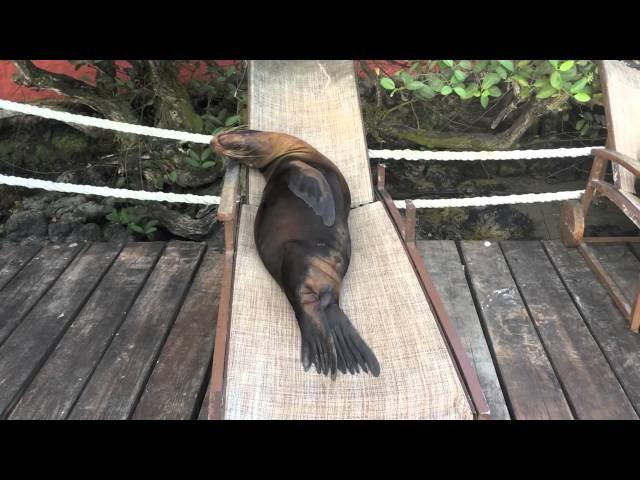 Sea Lions in Lawn Chairs – Galapagos – Compilation