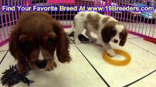 Cavalier King Charles Spaniel, Puppies, For, Sale, In,omaha ,nebraska, Ne,lincoln, Bellevue, Grand I