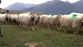 fête des bergers - aramits