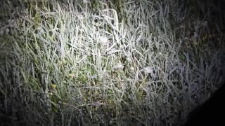 Derkacz Crex crex , bagno Wizna , 28 05 2017