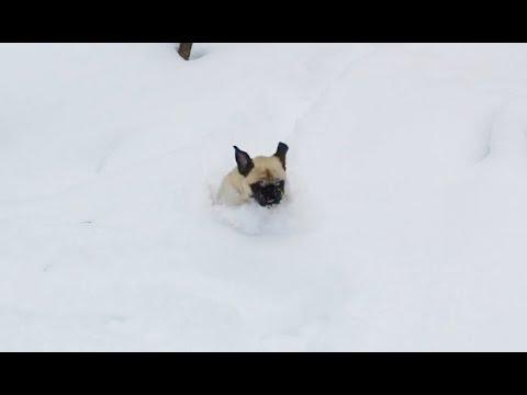 Snow Pugs