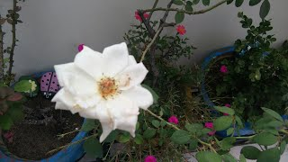 tips for growing roses in planter,गुलाब की देखभाल कैसे करेंanvesha,s creativity