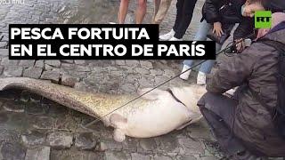 Sacan un enorme bagre del río Sena en pleno centro de París