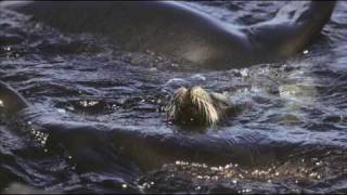 Galapagos Iguanas & Sealions by Michael Fairchild.mov