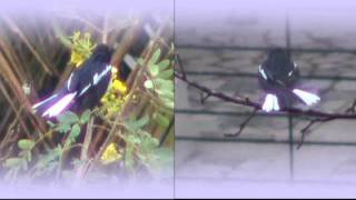oriental magpie robin (m and f) - doing the shimmy in the rain