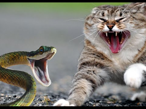 Top 10 Dangerous Cat Breeds