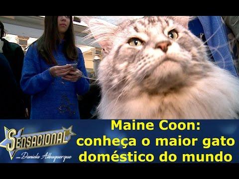 Maine Coon: conheça o maior gato doméstico do mundo