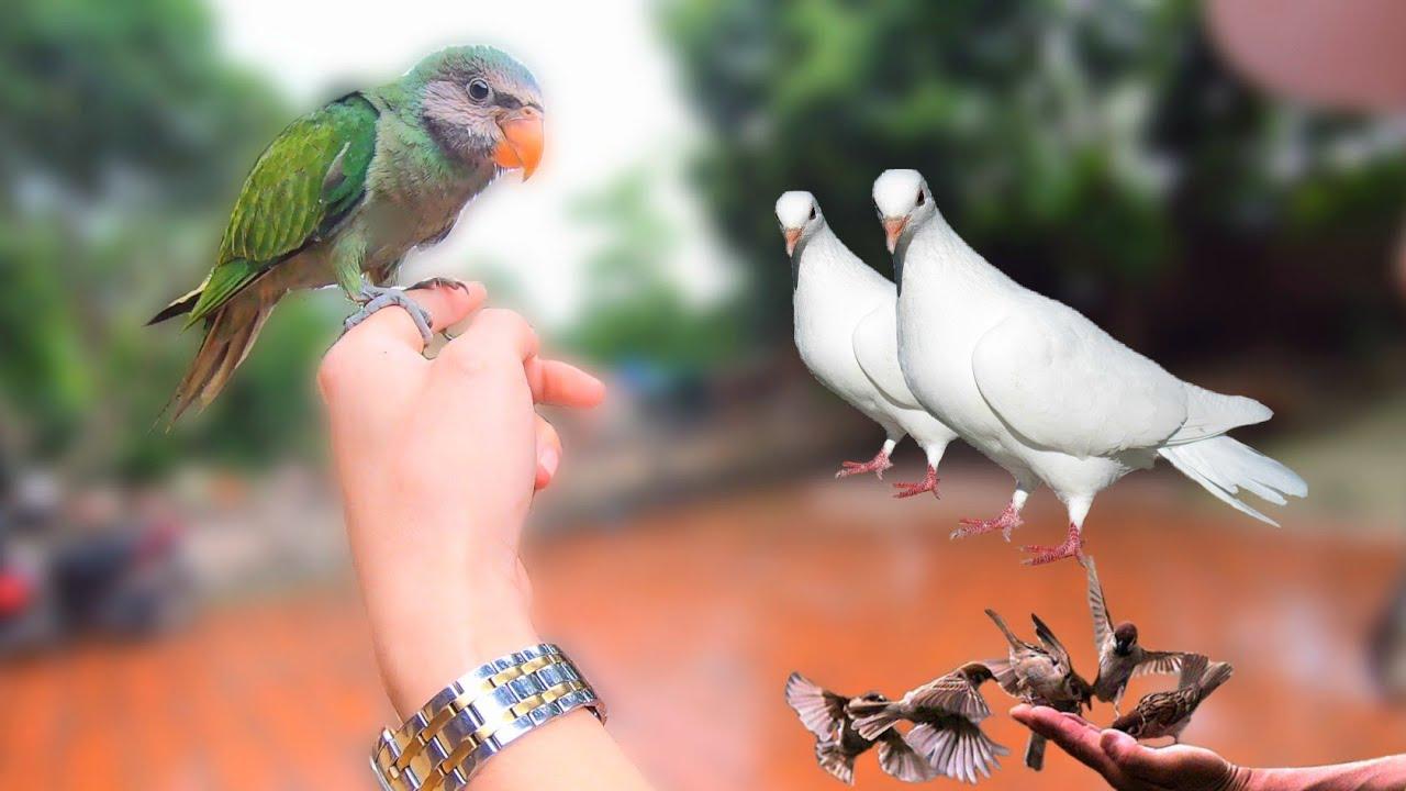 Chăm Sóc Chim Non Thăm Vẹt Ngực Hồng Và Nhận Được Món Quà Từ Bác Ở Phương Xa / Quế Nghịch