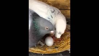 Güvercin in yumurtadan çıktığı an beslenişi