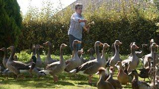 Gericht in Frankreich beschließt: Enten dürfen weiter schnattern