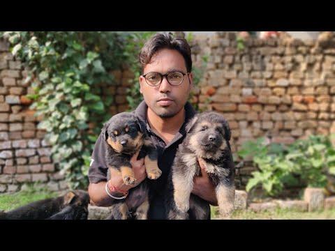 German Shepherd Vs Rottweiler. Doggyz World