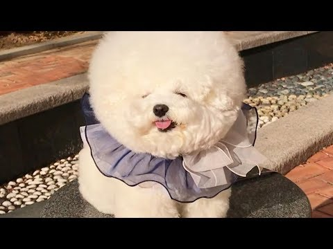 Mini Bichon - Cute Bichon Frise - Bichon Frise - Bichon videos Compilation #1