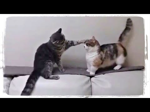 КОТ УСПОКАИВАЕТ КОШКУ(CAT CALMS DOWN THE KITTY), приколы с котами(funny cats) #447
