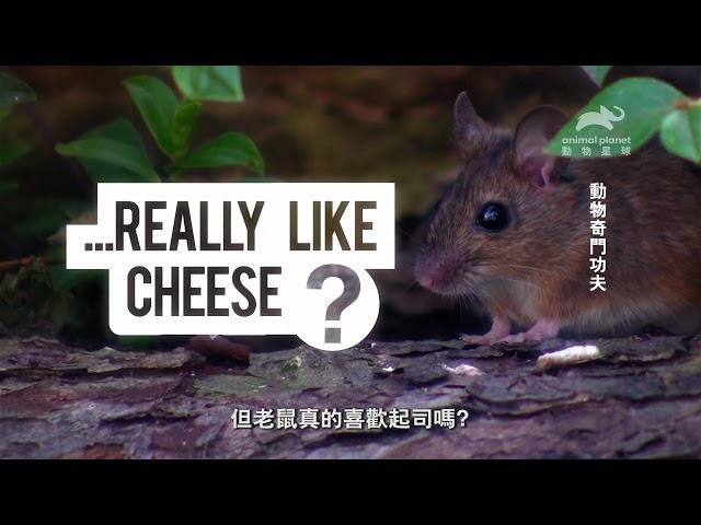 所以老鼠到底吃不吃起司?《動物奇門功夫》動物星球頻道過年春節強檔