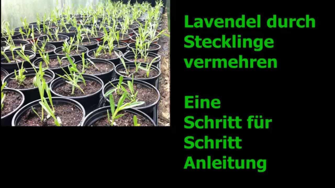 Berühmt Lavendel durch Stecklinge vermehren - Schritt für Schritt WM82