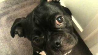 Funny Boston Terrier/pug Mix