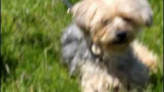 Mickey The Yorkshire Terrier