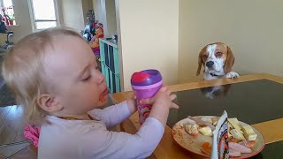 Dog Wants To Trade Stuff For A Human Breakfast: Only A Beagle Owners Will Understand This Video