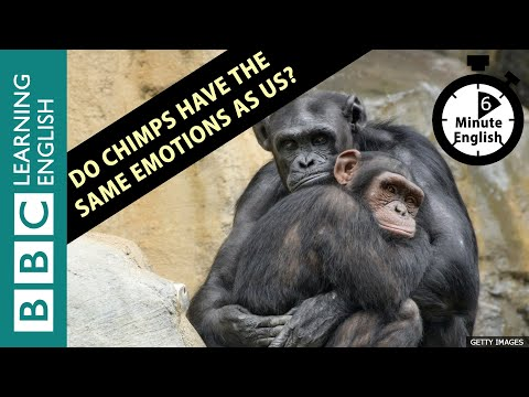 Do chimps have the same emotions as us? - Listen to 6 Minute English