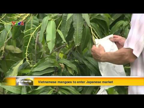 Vietnamese mangoes to enter Japanese market