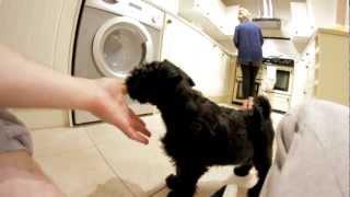 Miniature Schnauzer Puppy (9 Weeks Old)