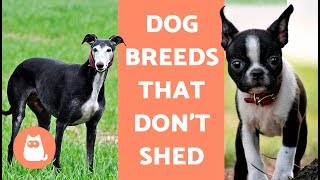 Dog Breeds that Don't Shed (that much)