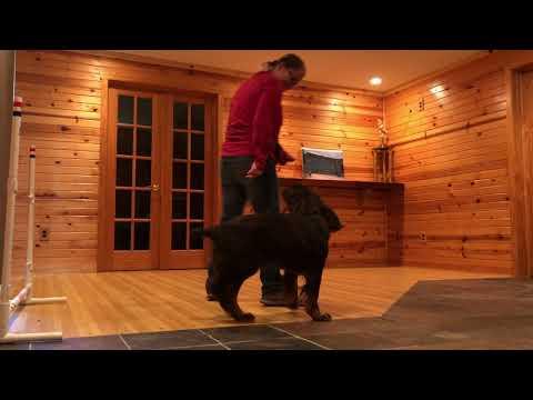 KC Field Spaniel Trick Dog Advanced