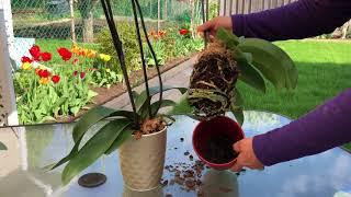 【彬彬有院】花 •新手养蝴蝶兰第一步,刚买来的蝴蝶兰需要换盆吗?