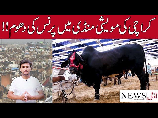 Heavy bull Prince at Karachi's cattle market