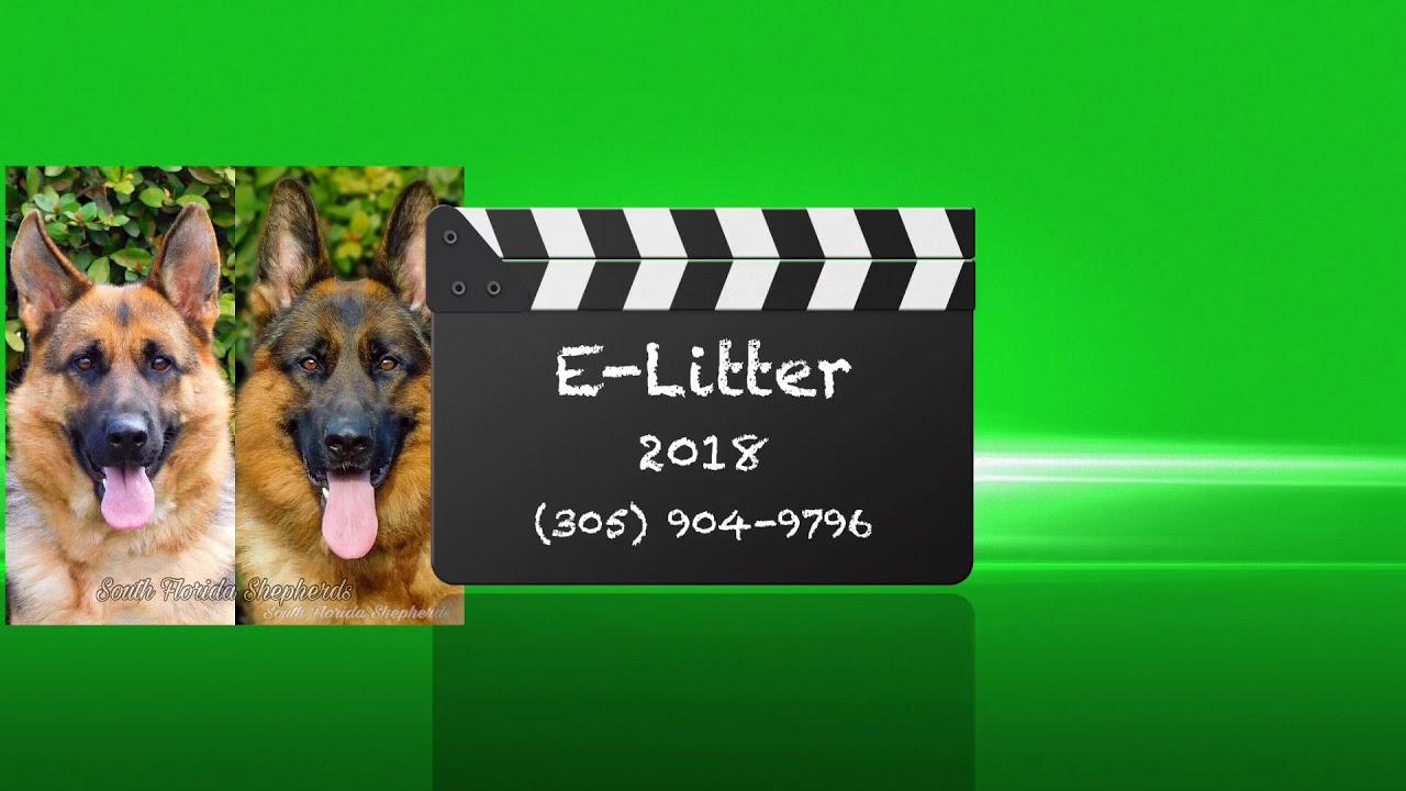 German Shepherd - German Shepherd puppies for sale from Florida's