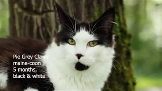Видео котенка породы мейн кун, окрас черный с белым (n09), Pie Grey Claw`s в возрасте пять месяцев.