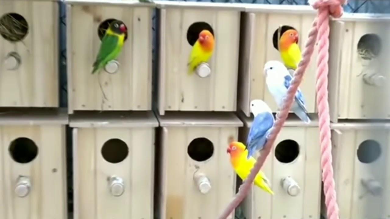 Usaha ternak burung lovebird cukup menyenangkan dan menjanjikan   YouTube