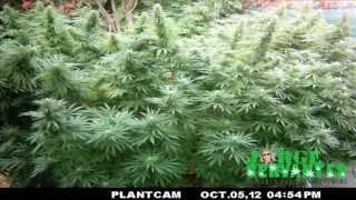 Jorge Cervantes' Outdoor Medical Marijuana Garden Time Lapse