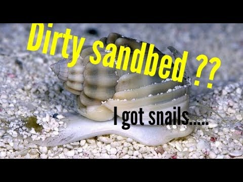 Dirty sand bed! Snails and the Reef tank